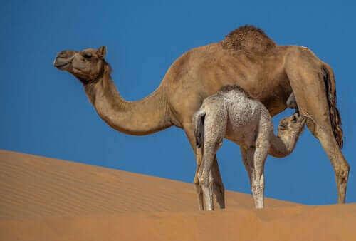 Egenskapene og fordelene med kamelmelk