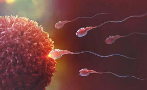 Egg og sædceller - befruktning