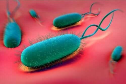 H. pylori-bakterien er en avgjørende faktor i forekomsten av magesår.