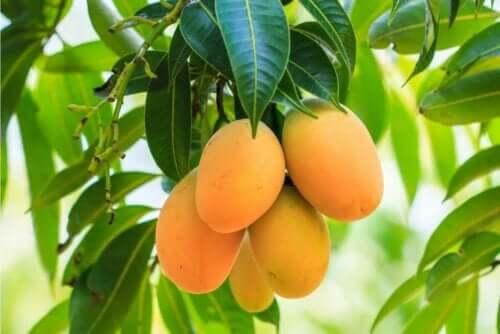 Helse fra mangoblad.