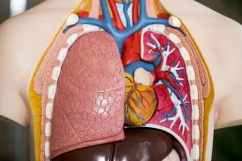 En anatomisk plastlunge.