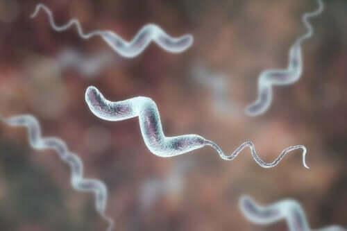 Et nærbilde av campylobacterbakterier.