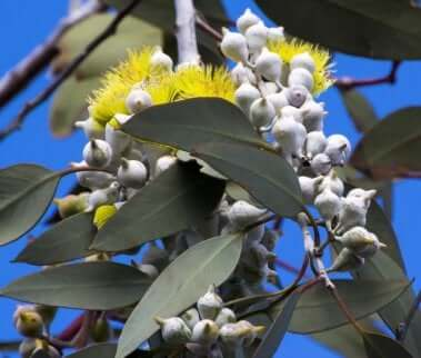 Hvordan kan du lage naturlig hjemmelaget myggmiddel? Eucalyptus polybractea