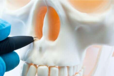 et bilde av nesehulen.