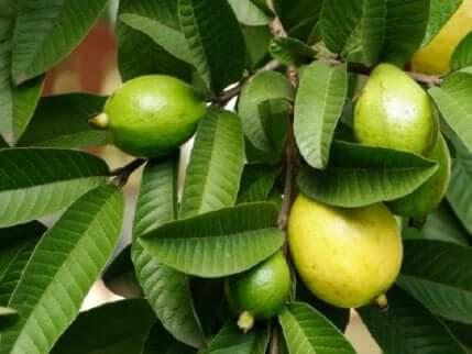 Guavablader kan kurere sti på øyet