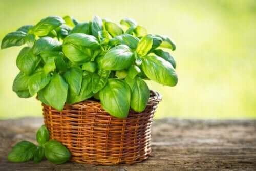Typer basilikum du kan dyrke i hagen din