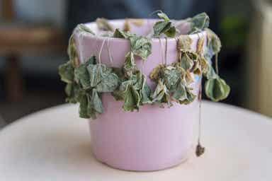 En syk plante