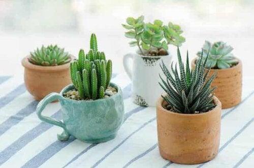 Flere sukkulenter i potter.