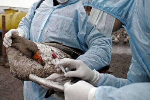 Fugleinfluensa: symptomer, diagnose og behandling