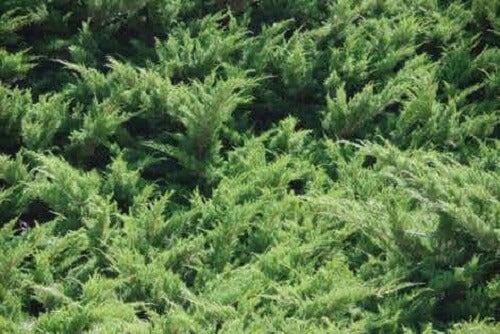 Grønne busker.